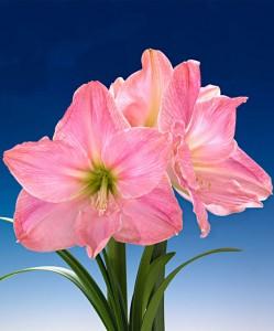 amaryllis-sweet-star-bloembol