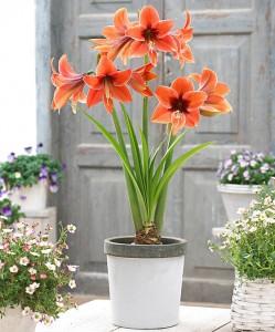 amaryllis-terra-mystica-bloembol