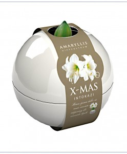 amaryllis-white-christmas-in-witte-kerstbal-bloembol