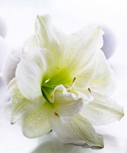 amaryllis-white-nymph-bloembol