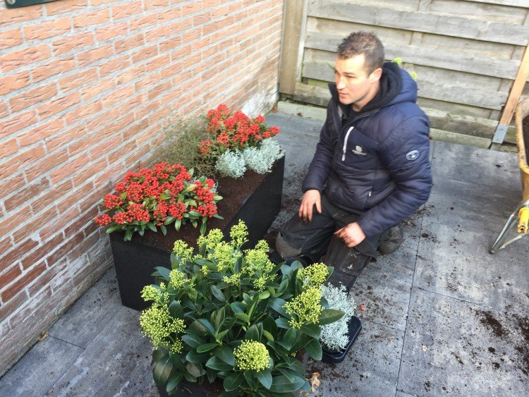 Skimmia fleurt op in huis - PlantPlezier.nl