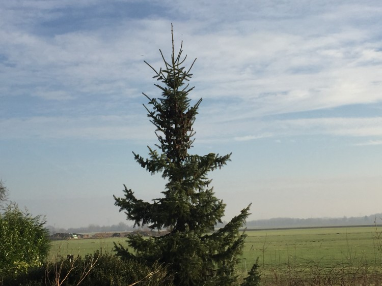 Kerstbomenasiel - PlantPlezier.nl