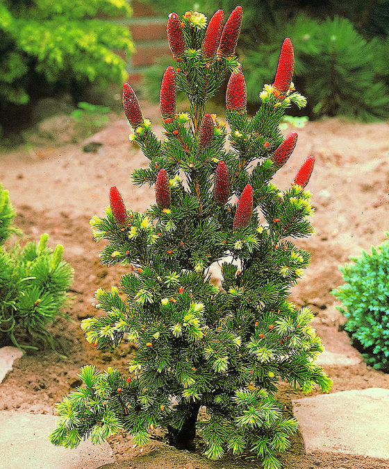 picea-bungens
