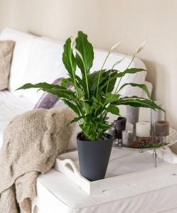 spathiphyllum-aqua-grijze-pot