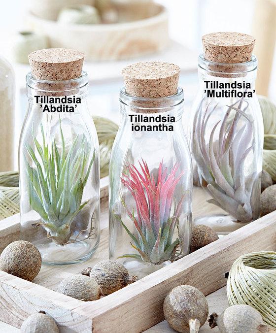 tillandsia-in-fles
