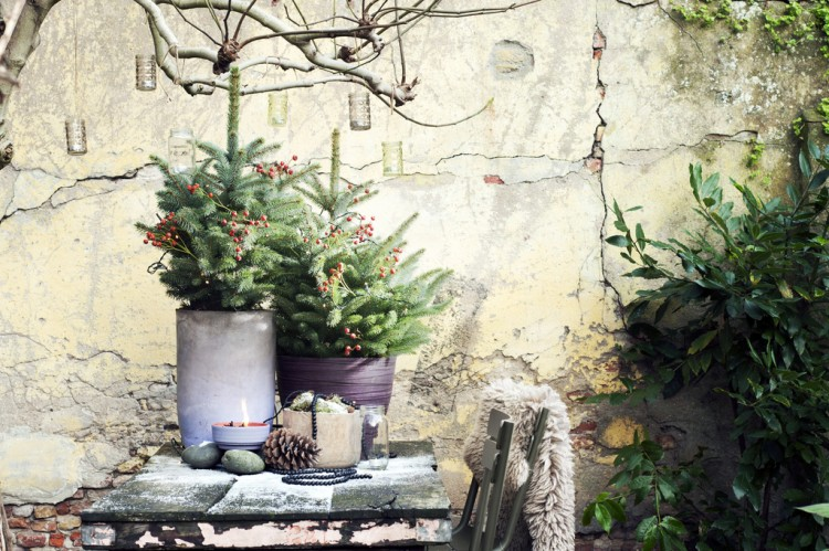 Tuinplant december: Spar (Picea pungens 'Lucky Strike') - PlantPlezier.nl