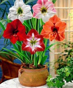amaryllis-mix-bloembol