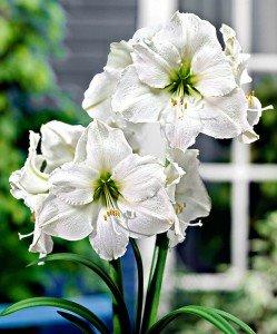 amaryllis-white-christmas-bloembol