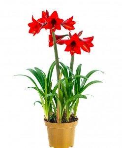 tuin-amaryllis-sonatini-red-rascal-bloembol