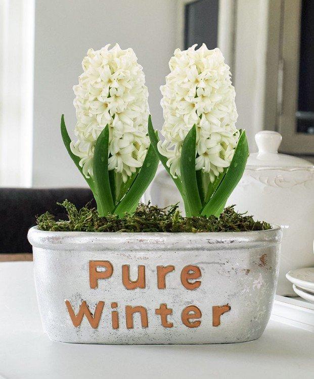 hyacinten-in-pot
