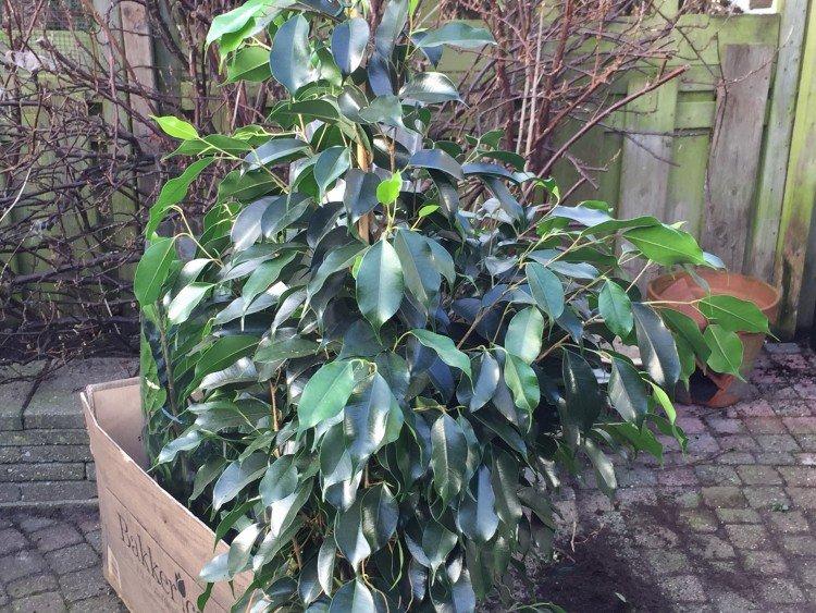 Ficus benjamina - PlantPlezier.nl