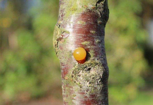 Gommende fruitbomen - PlantPlezier.nl