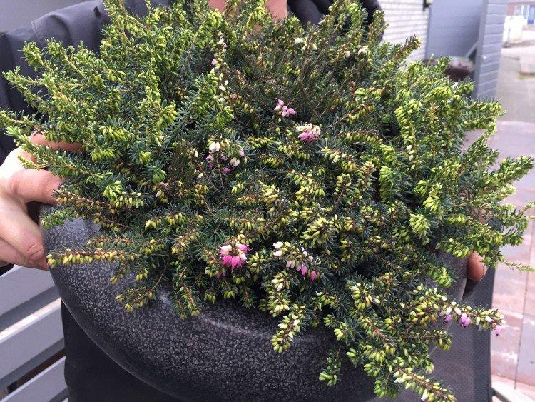 erica - winterheide - plantplezier