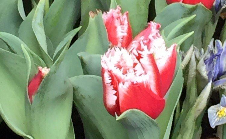 Dag van de Tulp - PlantPlezier.nl