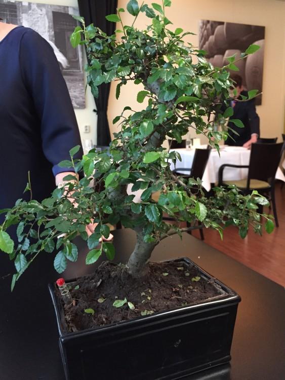 Hoe maak je een bonsai - PlantPlezier.nl