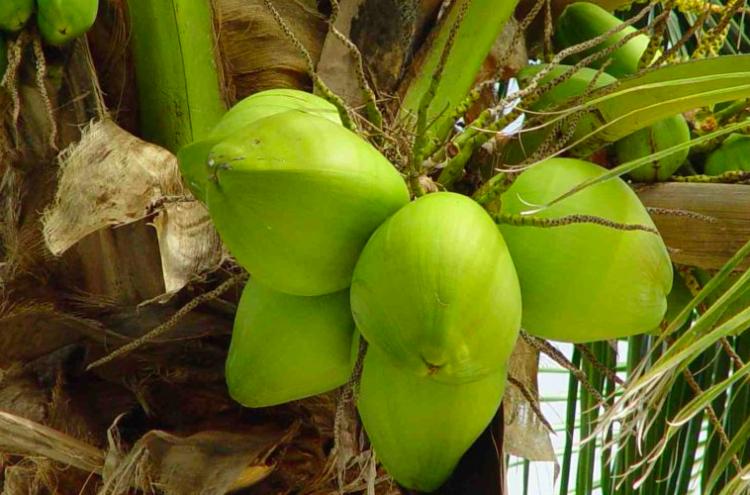 De kokospalm - PlantPlezier.nl