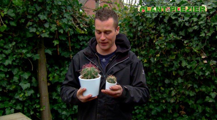 Ferocactus is schoonvaderszetel - PlantPlezier.nl