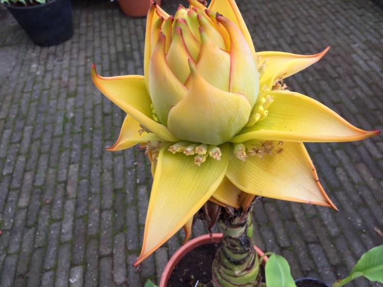 Bananen bananen - PlantPlezier.nl