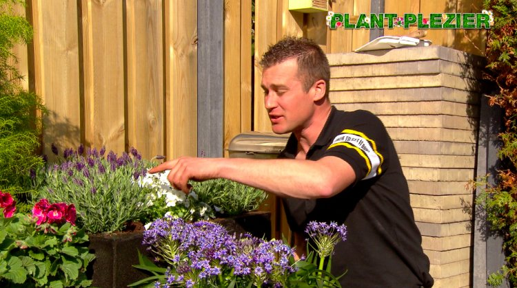 Vlag lavendel - PlantPlezier.nl