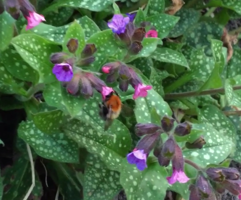 hommel snoept nectar in het voorjaar - PlantPlezier.nl