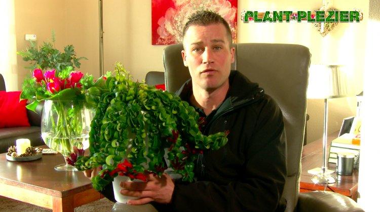 Lipstick Vraag - PlantPlezier.nl