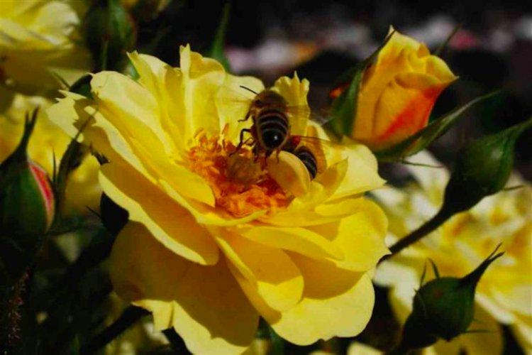 Rozen voor bijen - PlantPlezier.nl