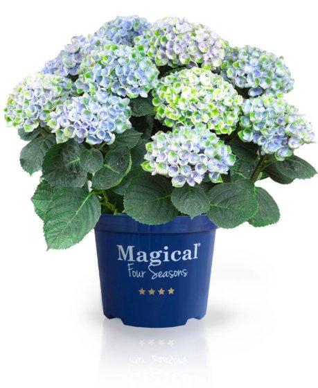 Hydrangea macrophylla 'Revolution Blue'