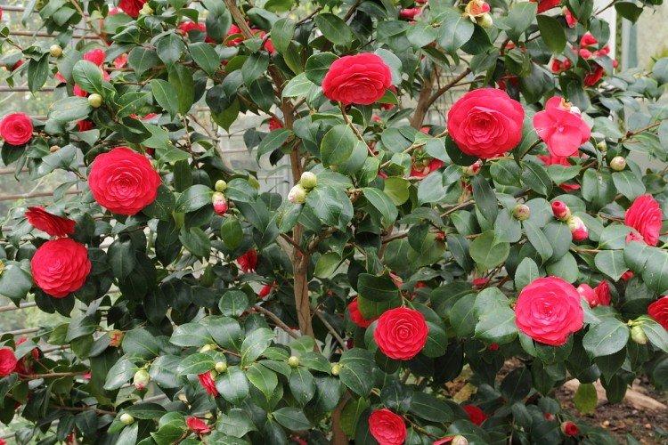 Camellia verliest knoppen - PlantPlezier.nl