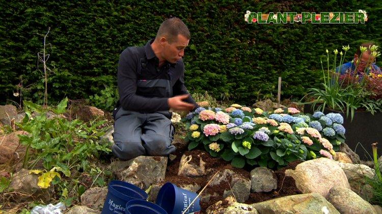 Hortensia en vorst - PlantPlezier.nl
