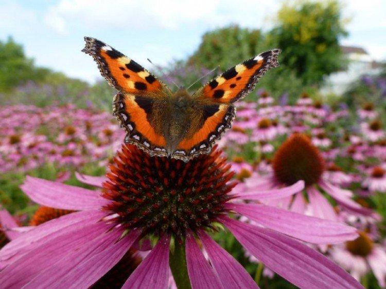 Vlinders in de tuin - PlantPlezier.nl