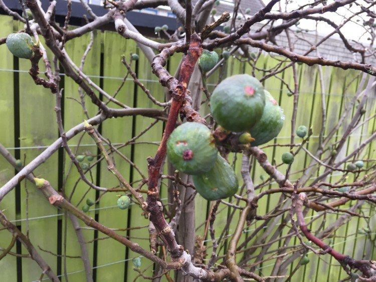 Wanneer zijn vruchten van vijgen rijp? - PlantPlezier.nl